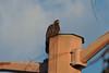 Golden Eagle (Wild Bird Company) Tags: goldeneagle aquilachrysaetos goldeneaglecolorado goldeneagleboulder wildbirdboulder wildbirdcolorado wildbirdcompany formerwildbirdcenter notwildbirdsunlimited birdseed birdwalk saturdaybirders bouldercreekat75thst heatherwoodtrail bouldercountyopenspace gunbarrel colorado stevefrye