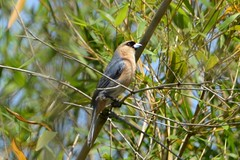 Bico de veludo a DSC_1233 (oliprioli) Tags: aves brazil birdwatching birds observação de pássaros bird schistochlamys ruficapillus bicodeveludo