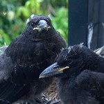 Only two Currawongs in the nest! thumbnail
