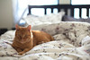 let the sunshine in (corinnevelez) Tags: letthesunshinein flickrfriday digital canon5dclassic 50mmf14 oliver cat sunlight morning bed orange red tabby animal pet portrait november2017 sundaylights