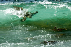 Turtle surfing || North Shore Oahu (David Marriott - Sydney) Tags: haleiwa hawaii unitedstates us turtle green surf surfing north shore oahu oahuphototours
