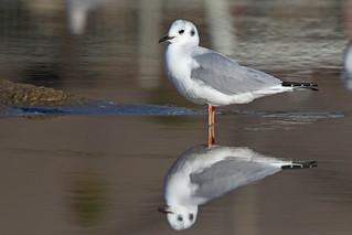 Bonaparte's Gull In Winter