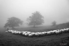 Jon Etxebarria Gorbeian udan (Jabi Artaraz) Tags: jabiartaraz jartaraz zb euskoflickr rebaño sheep ovejas niebla hayas bruma bn gorbea