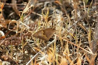 Mariposa Loba. Nombre cientifico:  Maniola jurtina es  lepidóptero pertenecientes a la familia Nymphalidae. Son muy muy parecidas a otras especies de su familia Nymphalidae. Esta está  fotografiada el el Algarve portugues, concretamente en Lagoa.