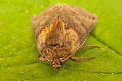 2449-P1120232 Dark Spectacle (Abrostola triplasia) (ajmatthehiddenhouse) Tags: stmargaretsatcliffe kent uk 2016 garden moth plusiinae noctuidae abrostola triplasia abrostolatriplasia darkspectacle