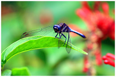 Blue dragonfly (Alice 2017) Tags: dragonfly nature 2017 hongkong bokeh green blue red canon canoneos7d eos7d canonef70200mmf4lisusm plant autumn flower insect