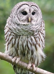 Barred Owl (photosauraus rex) Tags: bird barredowl strixvaria owl vancouver bc canada