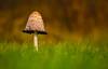Shaggy Inkcap (Peter Quinn1) Tags: shaggyinkcap toadstool macro lowpov ardfield westcork ireland fungus fungi
