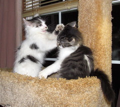 Hit Me With Your Best Shot (Lisa Zins) Tags: lisazins kittens play kitten mainecoon mainecoonkittens mainecoonmix playfighting white black cat feline noah elijah songtitle hitmewithyourbestshot