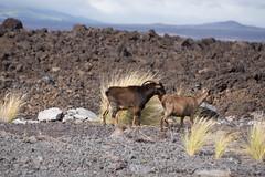 K3_P2854-sRGB (mountain_akita) Tags: hawaii waikoloa feral goat lava waikoloavillage unitedstates us