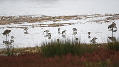 Bécasseau variable et Barge à queue noire (xav.vergon) Tags: automne chantalbouteiller leteich oiseaux pointaf reserveornithologique réglageaf12 sortieornitho xaviervergon