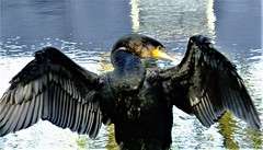 """ Now Be Thankful "" (hope2029) Tags: cormorant wings sunshine river closeup black leeds west yorkshire"