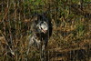 IMG_1270 (goaniwhere) Tags: wolf animal wolves wildanimal sanctuary
