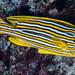 Ribbon+Sweetlips+-+Plectorhinchus+polytaenia