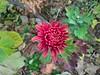WP_20171112_07_17_56_Pro (vale 83) Tags: chrysanthemum flower microsoft lumia 550 friends flickrcolour coloursplosion colourartaward wpphoto wearejuxt beautifulexpression autofocus