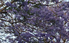 2017 University of Sydney Jacaranda Trees #4 (dominotic) Tags: 2017 flowers jacarandatree purple inthesky bluesky universityofsydneyjacarandatrees sydney australia