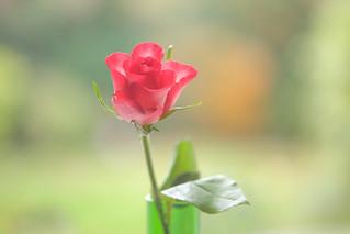 Little Autumn Rose