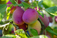 Plums (M C Smith) Tags: plums fruit green pentax k3 purple lime leaves branches bokeh