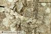 Tulip-tree Beauty - Hodges#6599 (Epimecis hortaria) 20171022_3624.jpg (Abbott Nature Photography) Tags: neoptera organismseukaryotes geometridaegeometridmoths geometroidea endopterygota pterygota animals insectainsects arthropodaarthropods hexapoda invertebratainvertebrates lepidopterabutterfliesmoths moth gordo alabama unitedstates us
