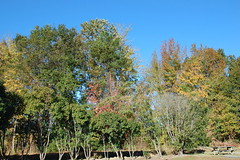 Trees. (dccradio) Tags: lumberton nc northcarolina robesoncounty outdoors outside morning goodmorning fall autumn harvest nikon d40 dslr sky bluesky nature natural tree trees foliage autumnfoliage fallfoliage
