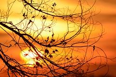 Last Call (NaturalLight) Tags: sunset leaf branch silhouette orange chisholmcreekpark wichita kansas