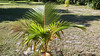 My Coconut Tree 3 Years After Being Planted from a Coconut Found on the Banks of the Sarasota Bay (soniaadammurray - Off) Tags: iphone tree growing life grass garden green treemendoustuesdays nature