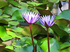 autumn pond (oneroadlucky) Tags: nature plant flower lotus waterlily purple green reference