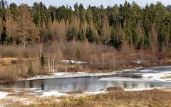 Marsh in sun and snow (yooperann) Tags: tamaracks pine marsh snow starting freeze sunny day gwinn sawyer upper peninsula michigan november fall autumn