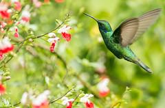 IMG_5190 Sparkling Violetear (suebmtl) Tags: birding bird ecuador hummingbird puembobirdinggarden pichinchaprovince colibricoruscans colibri sparklingvioletear