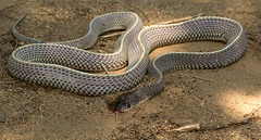 Cape File Snake (Gonionotophis capensis) (zimbart) Tags: africa mozambique chitengo gorongosanationalpark fauna vertebrata reptiles snakes squamata colubridae gonionotophis gonionotophiscapensis