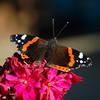 Vanesa Atalanta-red admiral-Der Admiral (vitofonte) Tags: vanesaatalanta mariposa butterfly insecto insect naturaleza nature natura natureza ribadeo playaoscastros vitofonte