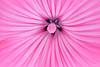 Blomst @ Frognerparken (vdbdc) Tags: oslo flor flower macro closeup close up pink frognerparken blomst