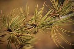 mélèze (bulbocode909) Tags: valais suisse mélèzes aiguilles nature automne jaune montagnes montchemin