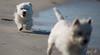 2017 - 11_25 - Animals - Dogs - Sushi_Angus 04 (stevenlazar) Tags: largs beachwater sand northhaven puppy 2017 ocean australia dog water animals adelaide white southaustralia scottishterrier