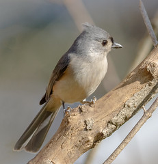 Tufted Titmouse (tresed47) Tags: 2017 201711nov 20171119chestercountybirds birds canon7d chestercounty content fall folder home november pennsylvania peterscamera petersphotos places season takenby tit us