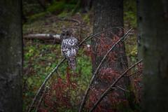 You again!!! (Francizc Chachula) Tags: nikon d7200 70300mm autumn 2017 november owl nature natural bokeh focus grain snapshoot