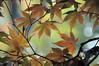 maple leaf swirl (christiaan_25) Tags: momiji irohamomiji japanesemaple leaves autumn fall swirl colors change bokeh nature season イロハモミジ