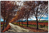 Fall Vineyard Drive (A Work of Mark) Tags: fallfoliage vineyard landscape scenic sonomacounty color