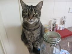Lynx  on kitchen counter! (d.kevan) Tags: animals cats lynx brothershouse kitchens moorabin melbourne australia victoria kitchencounters