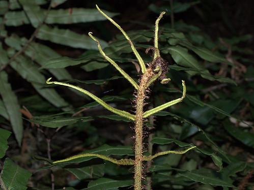 Blechnum wattsii Hard Water-fern