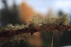 lichen (bulbocode909) Tags: valais suisse lichens branches arbres mélèzes forêts automne orange vert nature montagnes