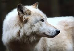 OLE (babsbaron) Tags: nature tiere animals wildpark lüneburg lüneburgerheide raubtier wildtier wolf wölfe wolves timberwolf jäger predator hunter