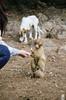 DSC_5562 (Andrew J Ferguson) Tags: barbarymacaque morocco fezmeknès ma