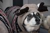 Happy Holidays 2017! (CalamityJanePhotography) Tags: labrador cache happyholidays calgary sweaters dog moose jessie christmas 2017 dogsofchristmas
