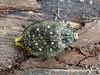 Jewel Beetle (possibly Polybothris multiguttata) PA030887 (fotosynthesys) Tags: polybothrismultiguttata jewelbeetle buprestidae beetle insect madagascar