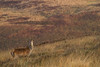 Ecosse / brame du cerf (*Chantal) Tags: ecosse brameducerf cerfélaphe cervuselaphus biche innerhebrides hébridesintérieures scotland reddeer wildlife hind reddeerhind mammal mammifère animal nature