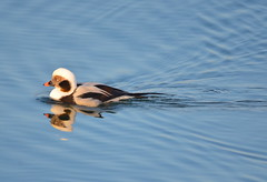 A First For Me - Long-tailed Duck (Neal D) Tags: bc surrey crescentbeach bird duck male longtailedduck clangulahyemalis