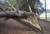 ARBOL CAIDO TRAS LA TORMENTA (CARLOS CALAMAR) Tags: ciclo tronco cadiz andalucia roto caido
