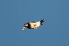 DSC_5969.jpg Acorn Woodpecker, Schwan Lake (ldjaffe) Tags: acornwoodpecker schwanlake
