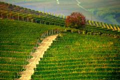 Vineyards (annalisabianchetti) Tags: vineyards vigneti rural green verde sentiero path tree autumn autunno piemonte italy nature natura